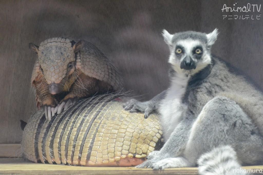 同居の幸せ、ワオキツネザルとアルマジロ