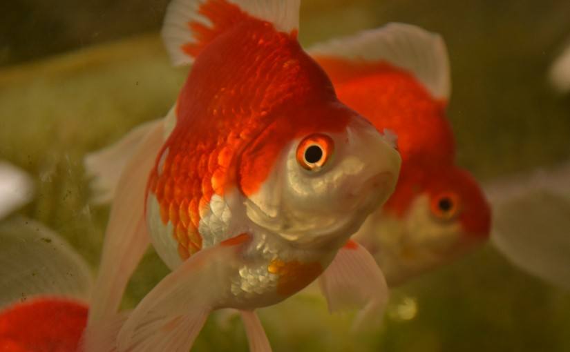 Goldfish in Japan