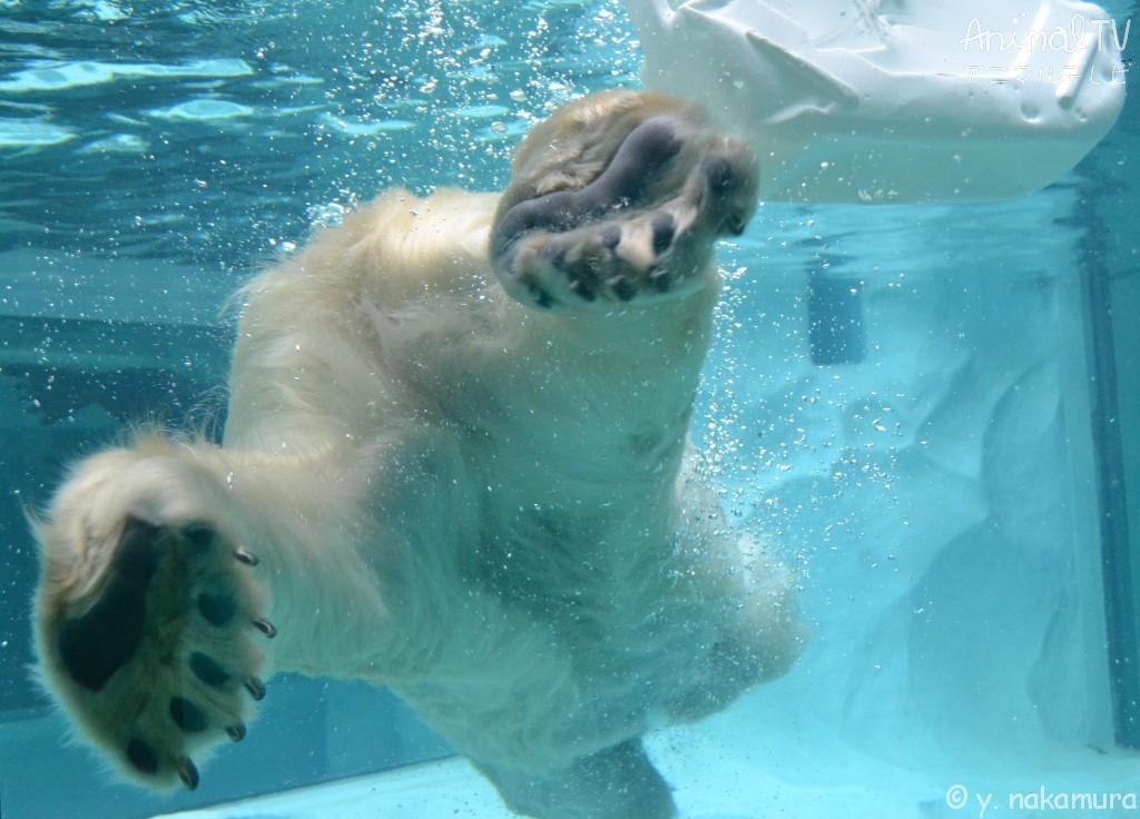 水中のホッキョクグマの足