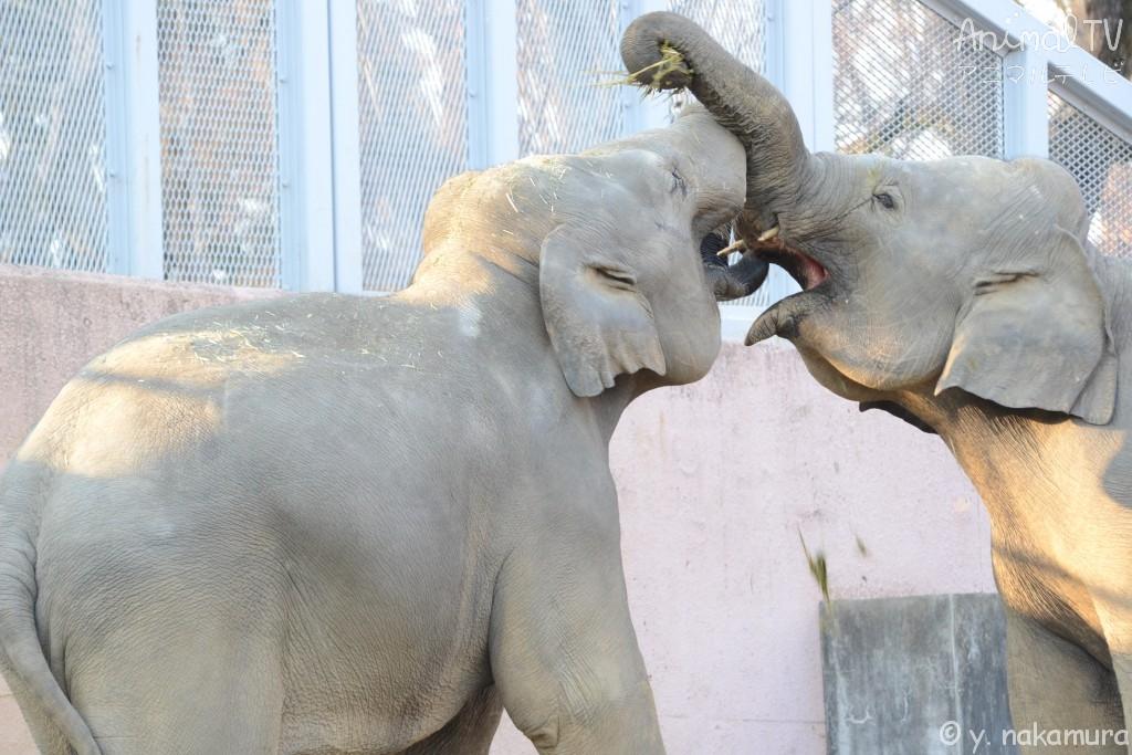 アジアゾウ、仲良しのコミュニケーション