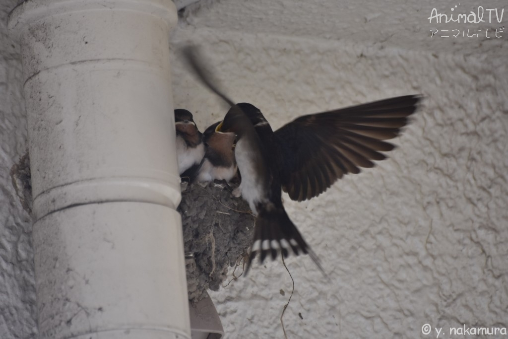 barn swallow in Japan