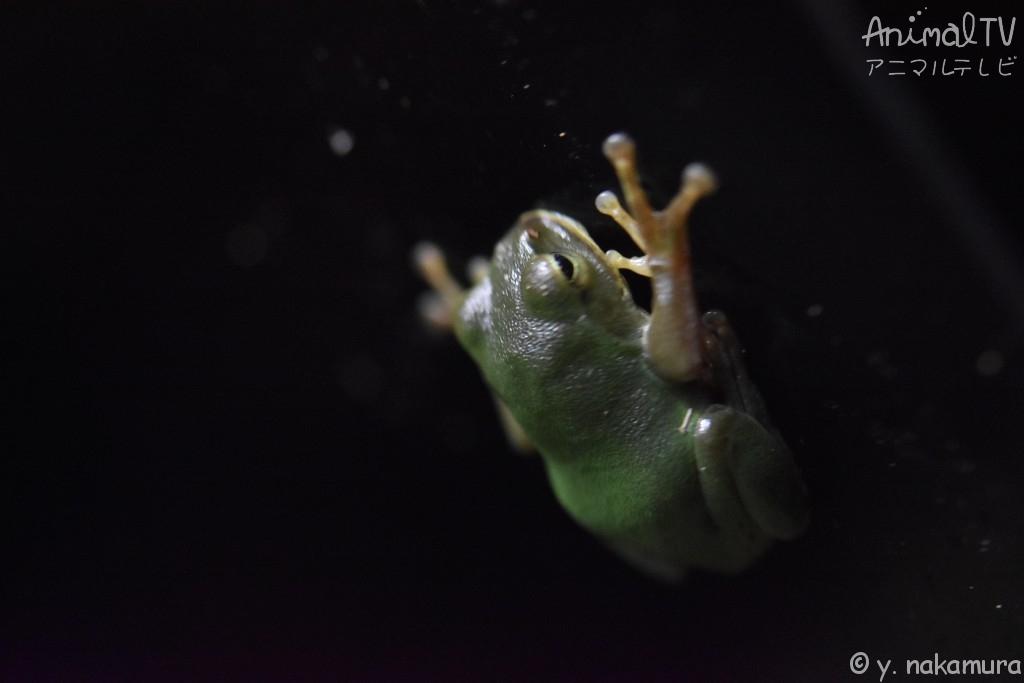 Tree Frog in Japan