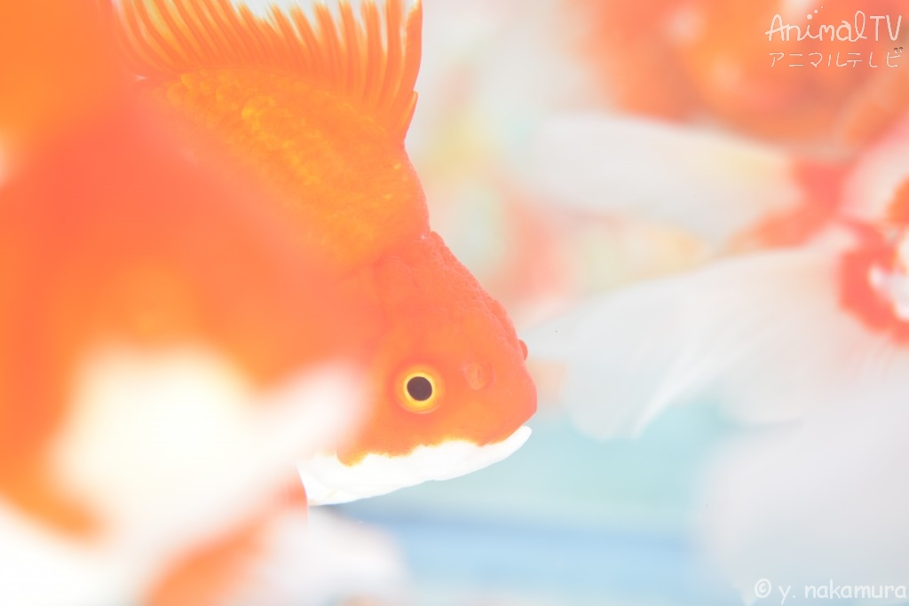 Goldfish in Japan, Fringetail gold fishes_2