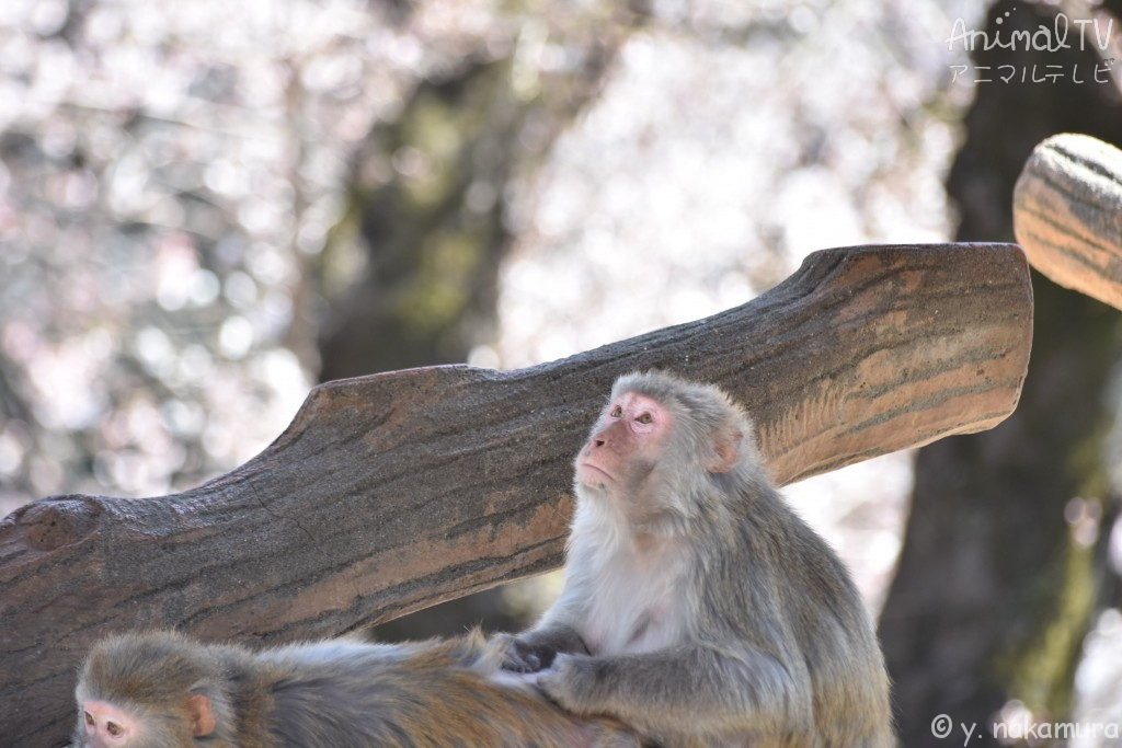 Monkey at Zoological garden in Spring
