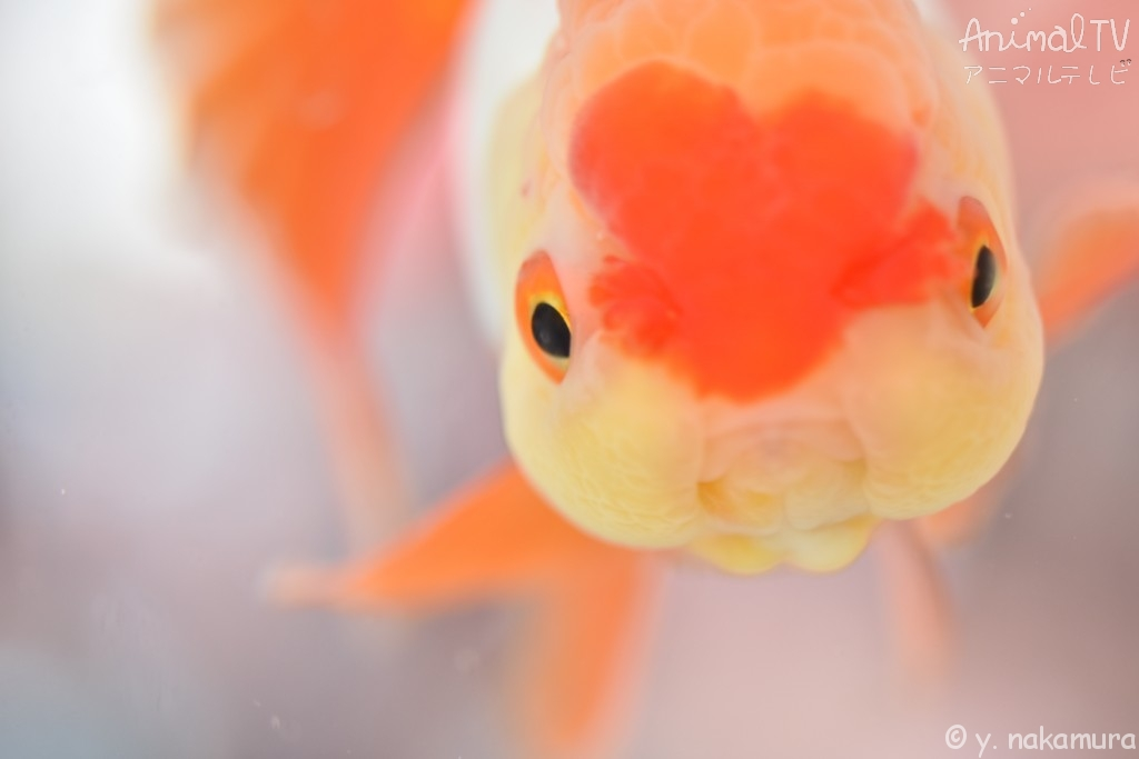 Goldfish in Japan, Azumanishiki
