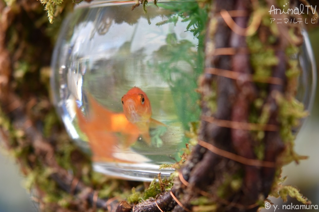 Goldfish and Japanese Aquarium