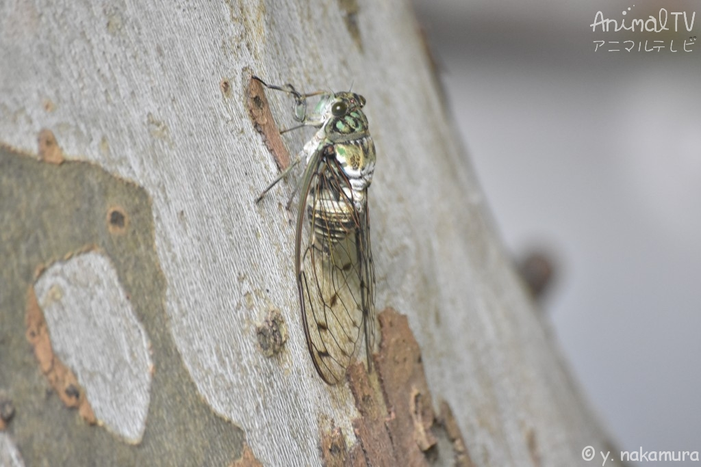 Cicada in Japan