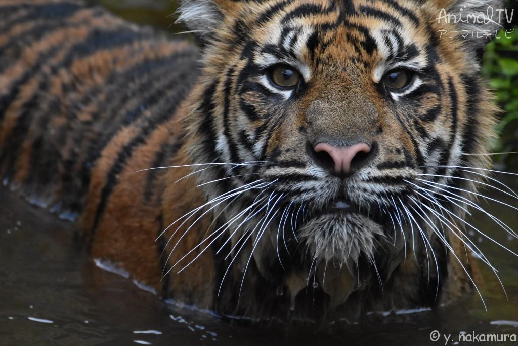 水の中のトラ
