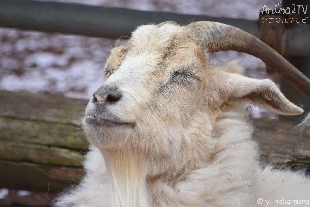 幸せなヤギ