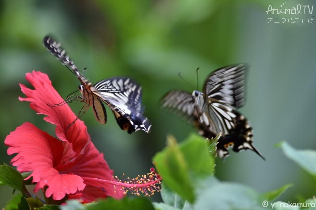 アゲハチョウ、友だち