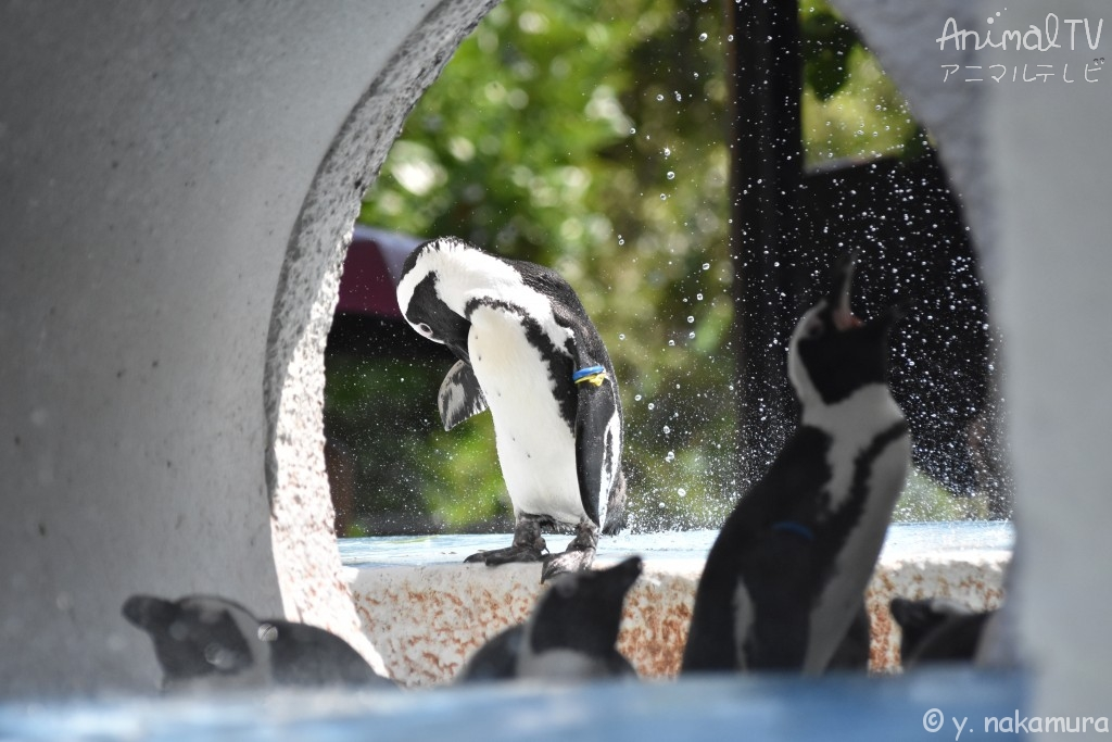 Summer is sticky in Japan, Penguin