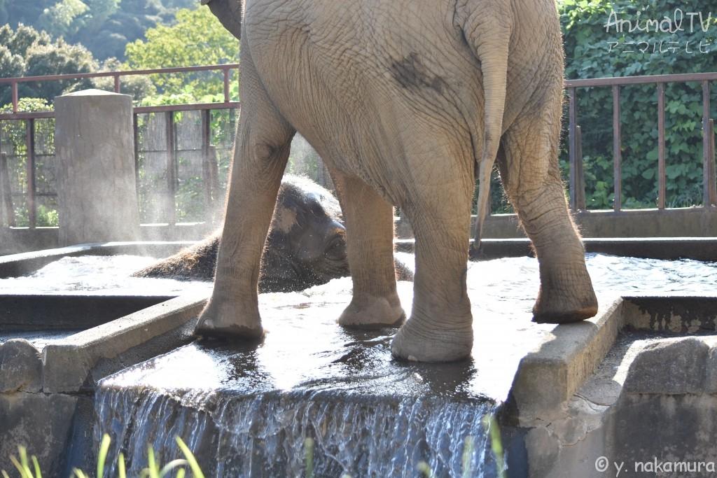 水浴び中のゾウ