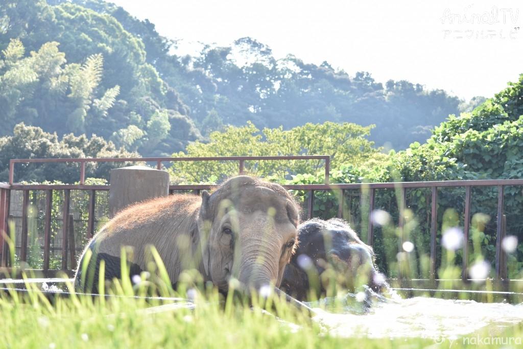 友だち同士のゾウが水浴び、仲良し