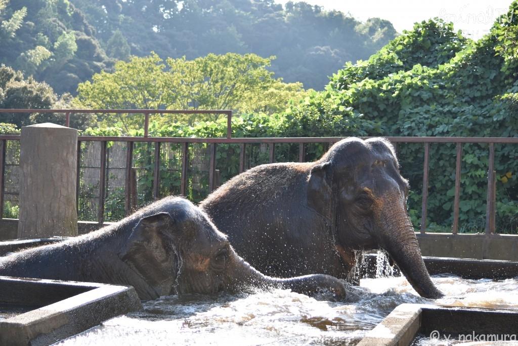 友だち同士のゾウが水浴び、仲良し_2