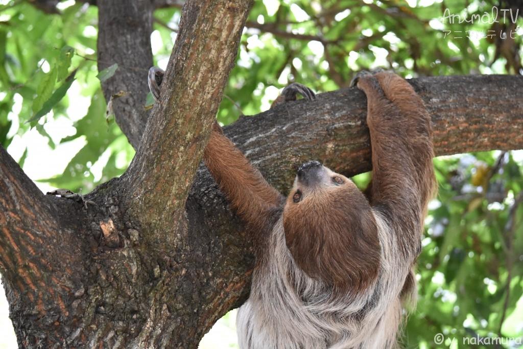 木登りするナマケモノ