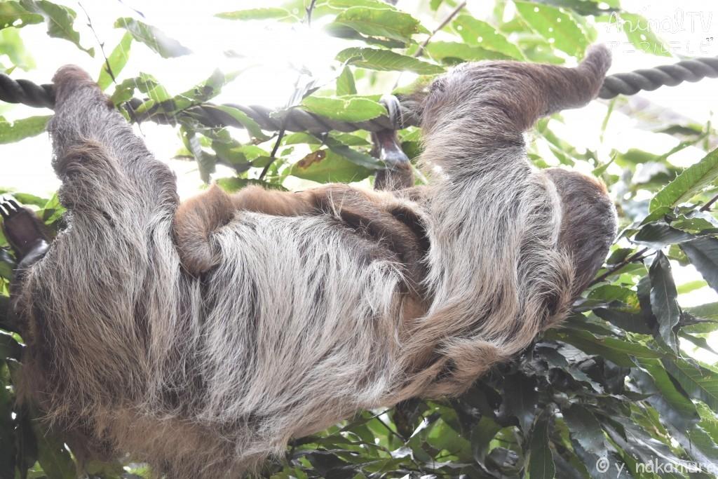 ロープ渡りするナマケモノの親子