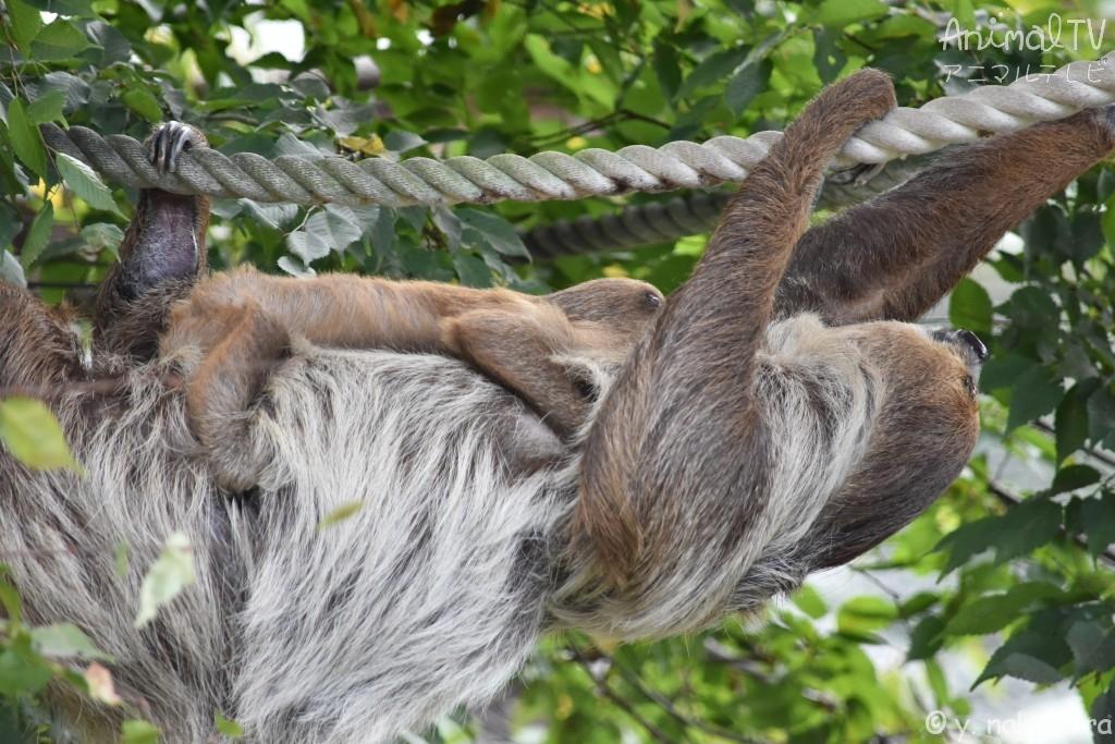 ロープ渡り、しっかり捕まるナマケモノのベビー