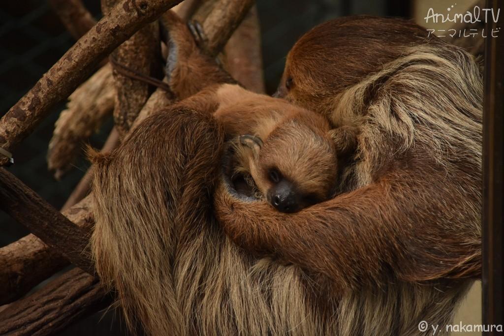 ナマケモノの親子が眠る、睡眠中