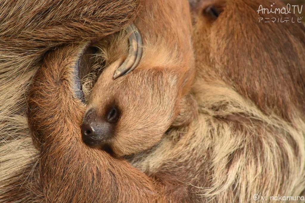 ナマケモノの親子が眠る、睡眠中_2