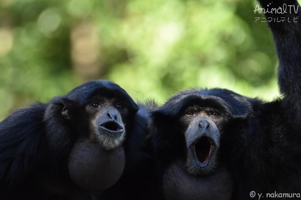 歌を歌う、フクロテナガザル