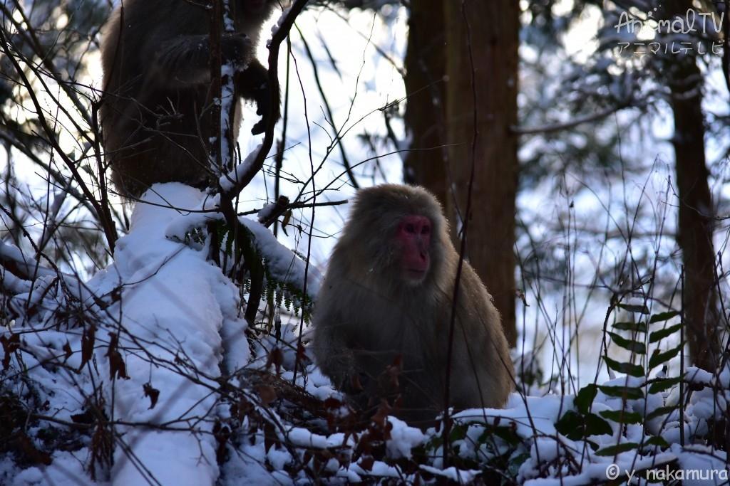 Snow monkey_3