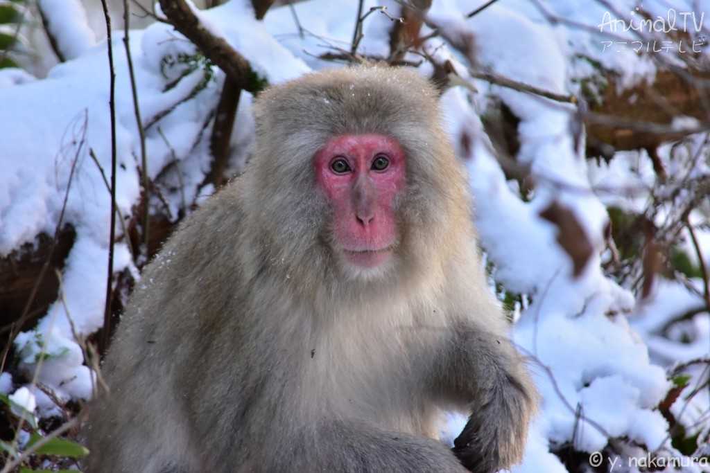 Snow monkey_4