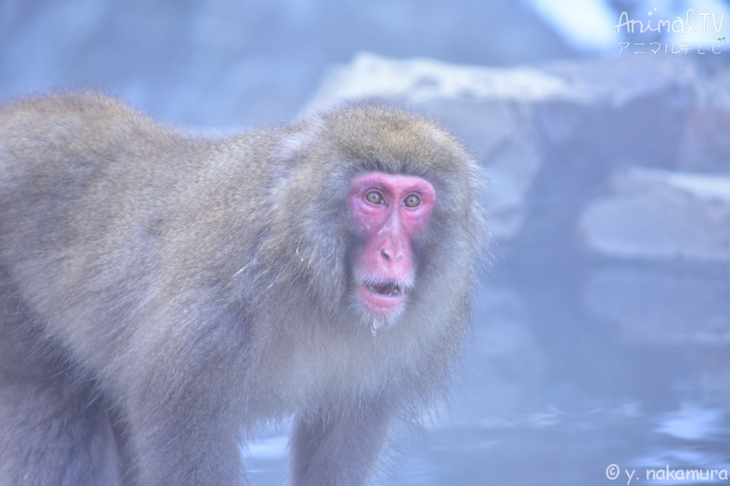 Snow monkey at hot springs