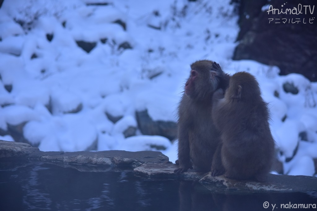 Snow monkey's mother and child at hot springs