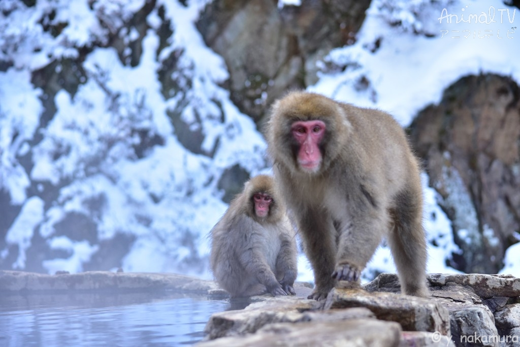 Snow monkey's mother and child.