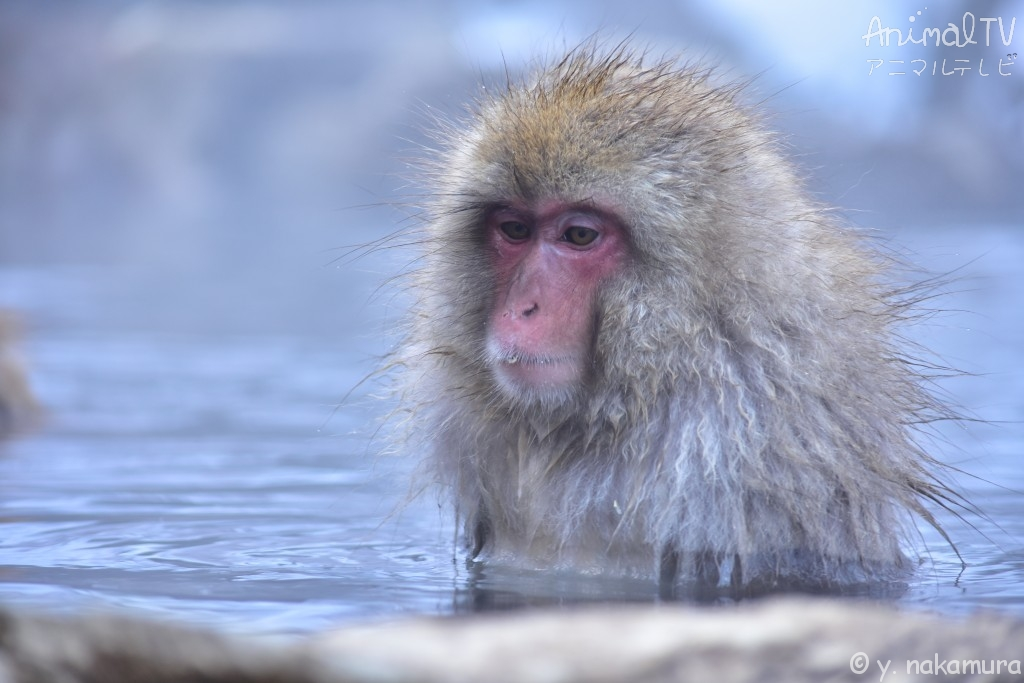 Snow monkey relaxed in a hot spring_4