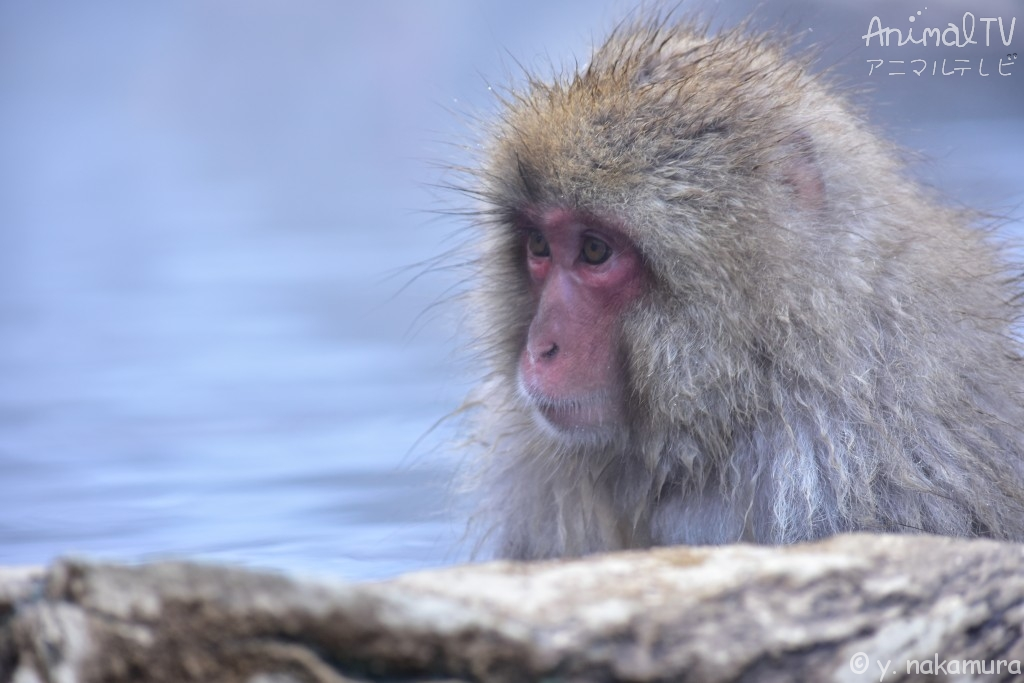 Snow monkey at hot springs_2