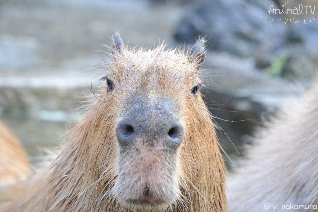 Capybara In the hot spring_3
