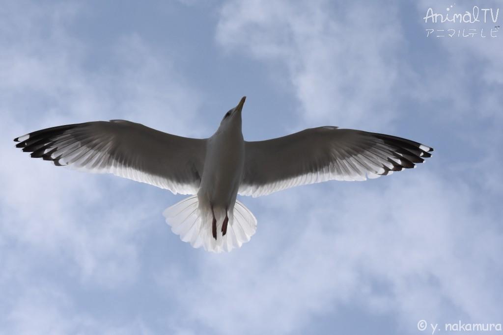 Black-taild Gull in Japan