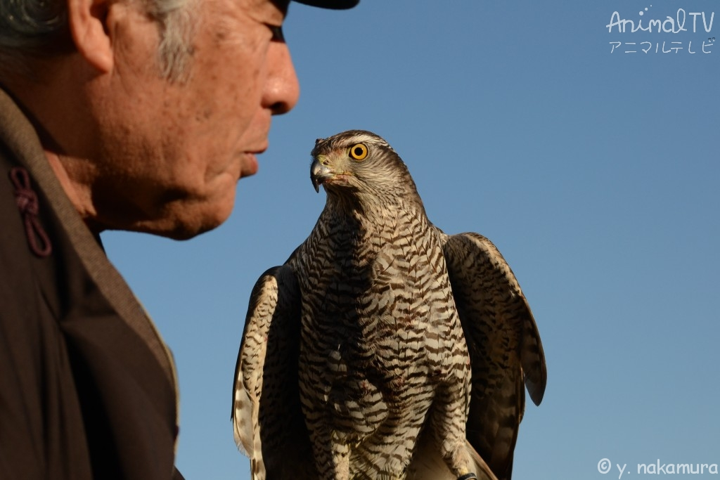 A person engages in hawking with hawks he has trained_3