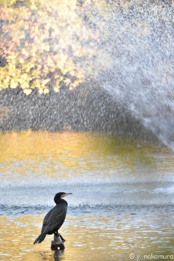 Great Cormorant in Japan