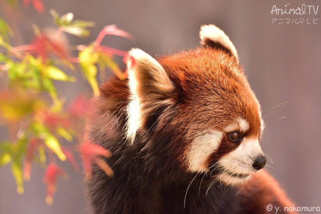 Red Panda in Autumn_2