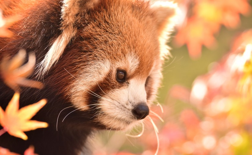 Red Panda in Autumn