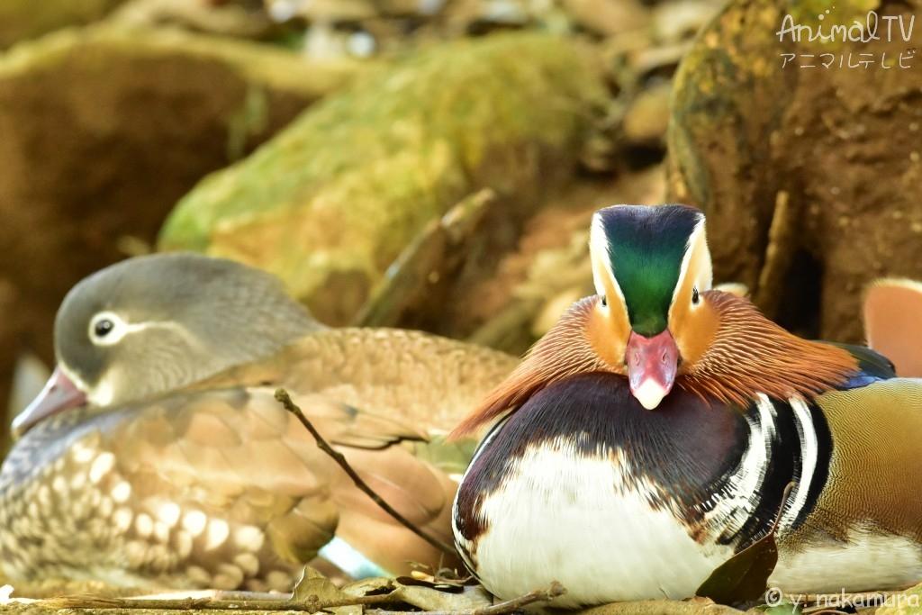 Mandarin duck Lover