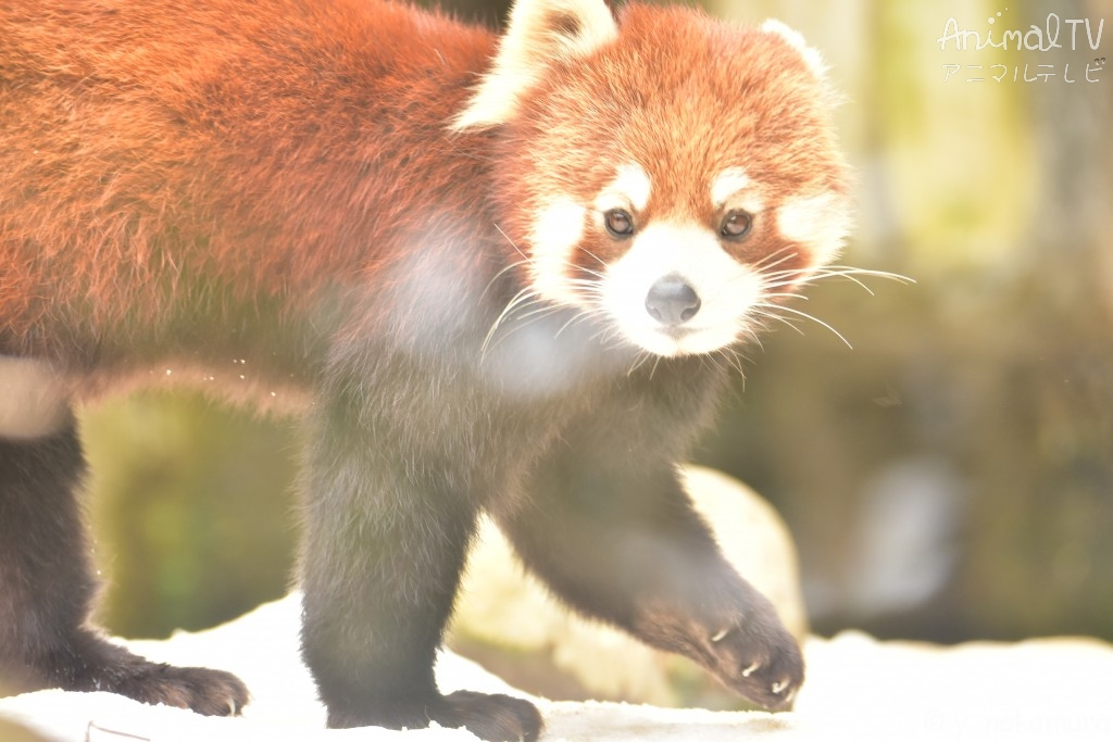 Red panda in snow day_2