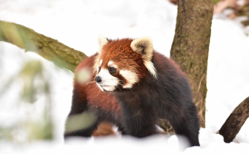 Red Panda in snow day